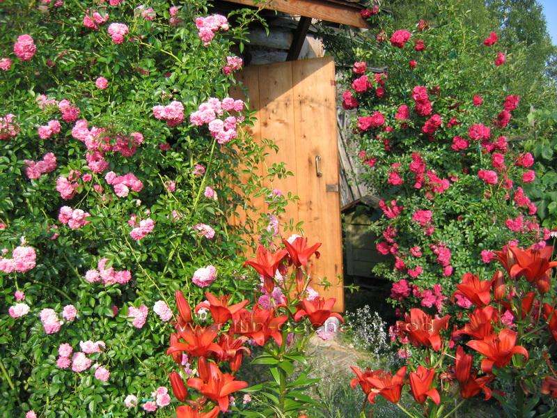 Плетистые розы где сажать 605