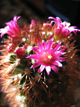 Mammillaria backerbergiana